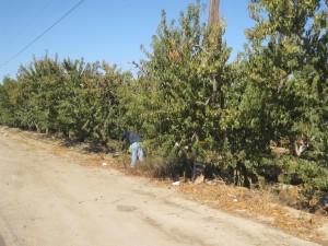 Un hombre poda árboles de durazno en Parlier, CA. Foto: Zaidee Stavely