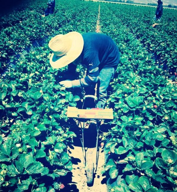 Pizcando fresa en campos agrícolas de Ventura, California.