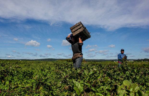 Trabajadores de la lechuga en King City, CA, que apoyan la lucha de los jornaleros del campo, están entre los más expuestos a contraer el coronavirus. Foto:  WNYC.