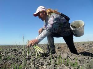Pie de foto: En California, un proyecto de ley busca que los trabajadores agrícolas reciban el pago de horas extras después de las ocho horas de trabajo por día, o las 40 horas a la semana. (foto cortesía de Luis Magaña).