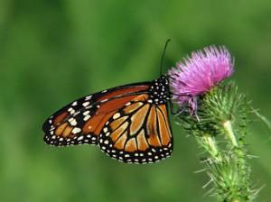 Mariposa Monarca. Foto: bn.globalvoicesonline.org