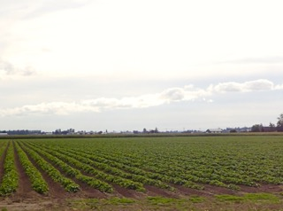 Campos de moras en el estado de Washington. Foto: José Luís Buen Abad.