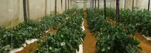 Granja comunitaria de voluntariado creada en el proyecto de agricultura en el extranjero. Foto: Projects  Abroad.