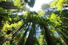 Hermoso árbol milenario, Secoya, regalo de la naturaleza. Foto: The Wallpaper.