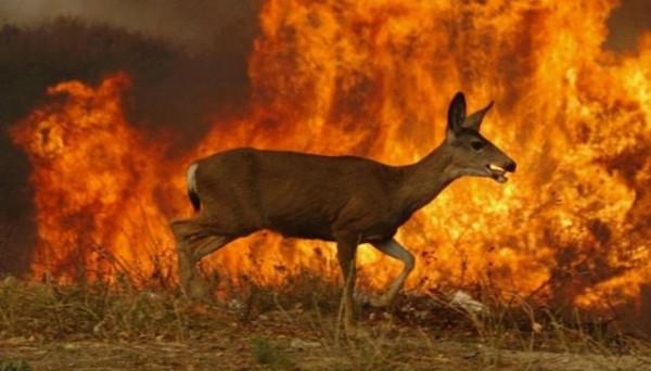 Los incendios también han impactado la vida animal. Desesperados, muchos animales huyen del bosque en llamas para buscar refugio en otra parte. Foto: www.diadia.com.ar.