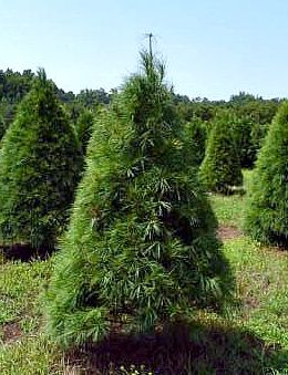 Arbolitos de Navidad de Carolina del Norte. Foto: www.christmastrees.ces.ncsu.edu.