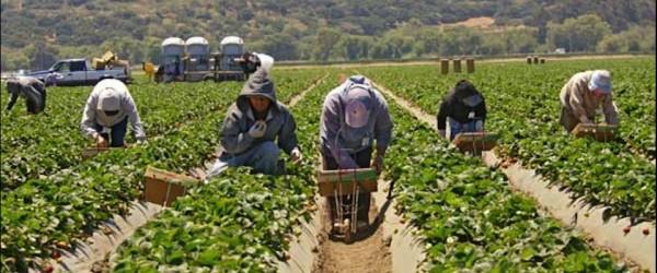 Campos freseros en Salinas, California, cultivados por las hábiles manos de los campesinos, mayormente inmigrantes indocumentados. Foto: UC Berkely.