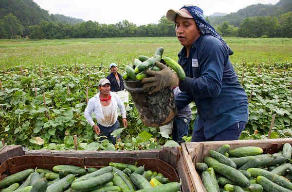 Trabajadores inmigrantes, muchos de ellos indocumentados, en la pizca del pepino. Foto: https://coimpact.givkwik.com.