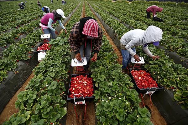 Trabajadores que pizcan las fresas en campos de cultivo muchas veces de sol a sol. Foto: https://coimpact.givkwik.com.