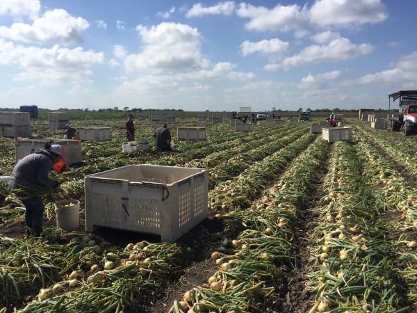 La temporada de las cebollas en el Condado Hidalgo en el Valle del Río Grande.