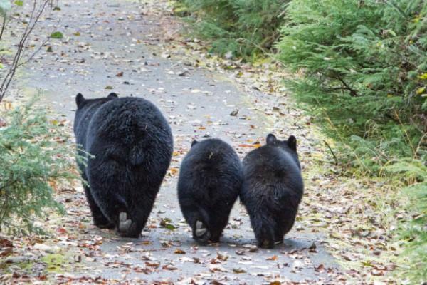 Esta familia de osos tiene que recorrer distancias más largas en busca de alimentos y protección a la cacería. Foto: blog.humanesociety.org.