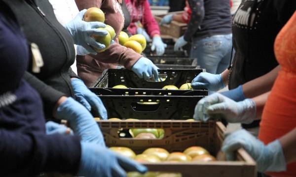 Las manos de los trabajadores de la empresa mexicana, Agropark, que clasifican los tomates en línea. Foto: Megan Janetsky / www.cronkitenews.azpbs.org.
