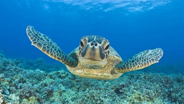 Tortuga verde comiendo en zonas cada vez más profundas en el océano. Foto: www.videvo.net.