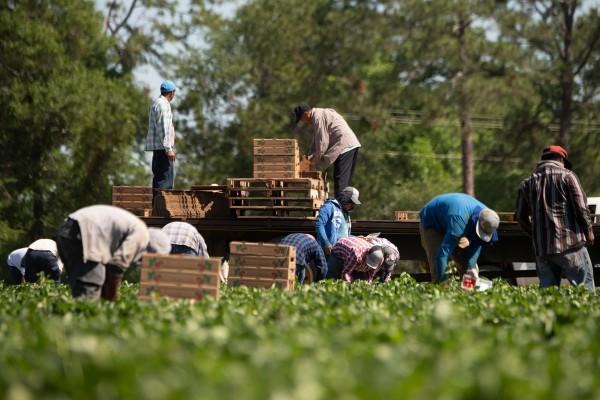 Con el apoyo de las organizaciones agrícolas y del sindicato United Farm Workers (UFW), un grupo de representantes bipartidista presentó un nuevo proyecto de ley sobre trabajo agrícola en el Cámara baja el miércoles 30 de octubre. Foto: www.proag.com.