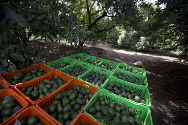 Las autoridades en México han dicho que la deforestación causada por la expansión de los huertos de aguacate en Michoacán es mucho mayor de lo que se pensaba. Foto: www.spokesman.com.