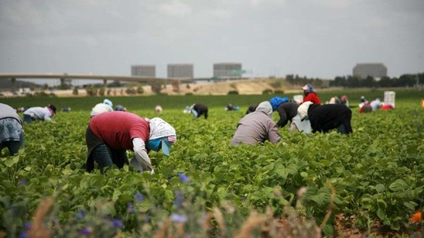 Campesinos mexicanos y centroamericanos en los campos agrícolas de Yakima, Washington, con dificultad para guardar los 6 pies de distancia. Foto: https://yakimadiocese.org/.
