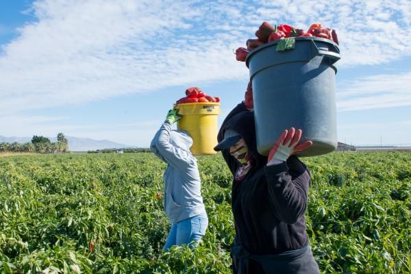 Después de la presentación sobre la vacuna, los campesinos volvieron a recolectar pimientos. A menudo trabajan muy cerca uno de otro, lo que hace imposible el distanciamiento físico.