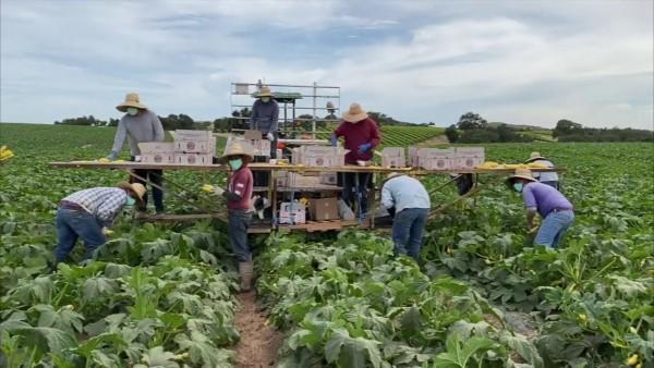 Trabajadores indocumentados en campos agrícolas de California, esta vez podrían tener alivio económico del estado. Foto:  del sitio web http://covid19farmworkerstudy.org.