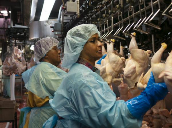 Línea de trabajo en una planta avícola de Foster Farms. Foto: https://www.chickencheck.in.