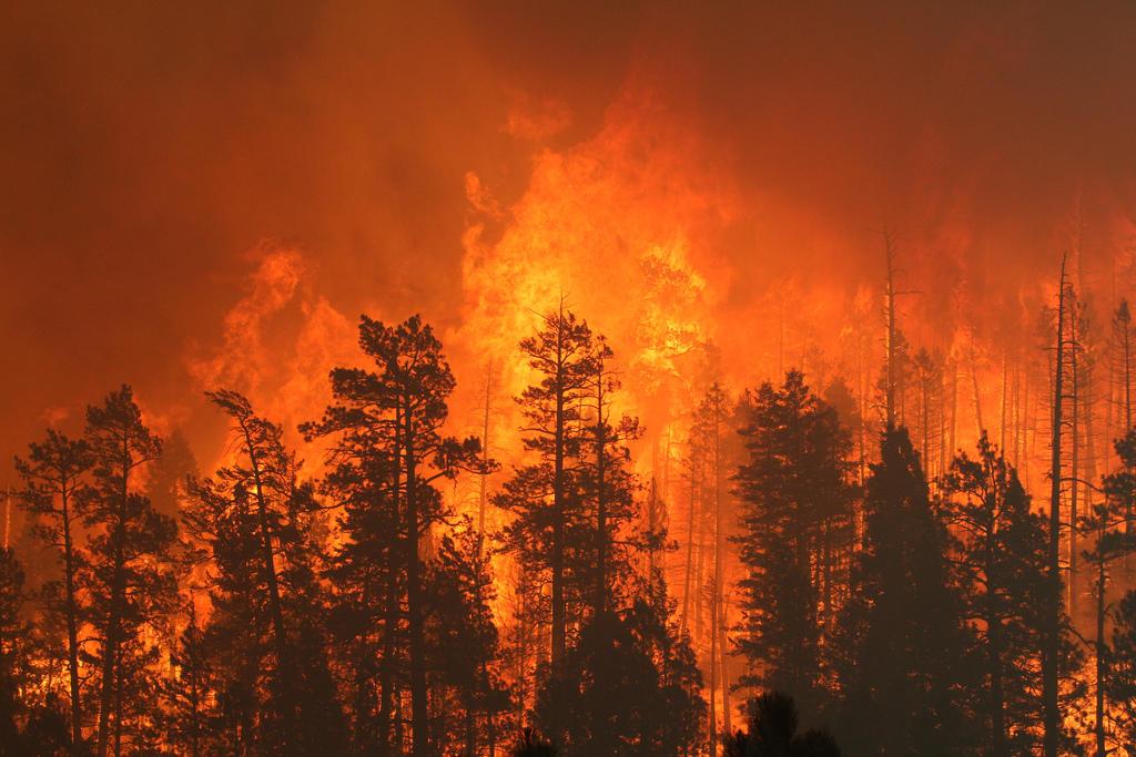 Las llamas del incendio Wallow, el mayor incendio forestal jamás visto en Arizona, consumieron pinos en 2011. Foto: Bosques Nacionales Apache-Sitgreaves.