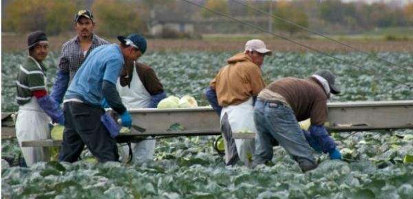 Aunque los trabajadores agrícolas de California pueden estar entre los mejor pagados en el campo del país, aun así trabajan largas horas en oficios mal pagados y además del peligro de ser deportados, muchas veces sufren de robo salarial y problemas de salud relacionados al trabajo, como el contacto con os pesticidas. Foto: Fundación Dolores Huerta.