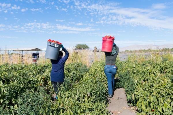 Trabajadores agrícolas trabajan en una finca de pimientos morrones en el Valle de Coachella (CA), una de las regiones agrícolas más grandes del país, en febrero de 2021. Foto: Heidi de Marco / KHN.