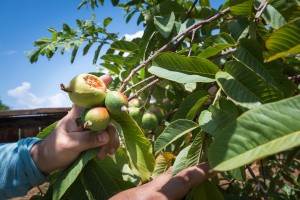 """Jaime Isidoro planta árboles frutales en su patio trasero durante su tiempo libre y dice que ha notado que los veranos se vuelven más calurosos cada año. """"Esta es la primera vez que este árbol de guayaba da frutos"""", dice."""
