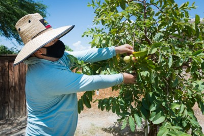 """Jaime Isidoro plants fruit trees in his backyard during his time off and says he has noticed the summers getting hotter every year. """"This is the first time this guava tree bore fruit,"""" he says. """"I was expecting a good crop, but the heat is too high and it's burning the fruit."""" . (Heidi de Marco/KHN)"""