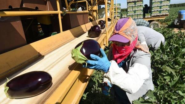 Un proyecto de ley en trámite en la legislatura de California daría a los trabajadores agrícolas acceso confiable a una reserva constante de máscaras N95, que protegen contra la exposición al humo de los incendios forestales. Foto de archivo del Bee / John Walker /  Fresno Bee.